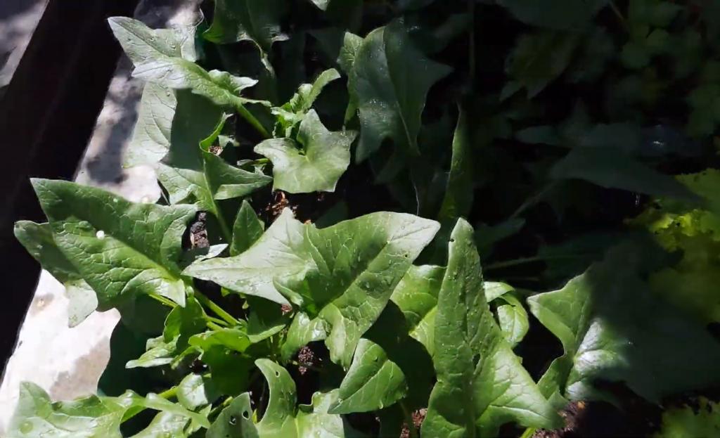 Grow Organic Spinach