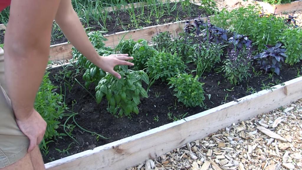 Grow Organic Basil
