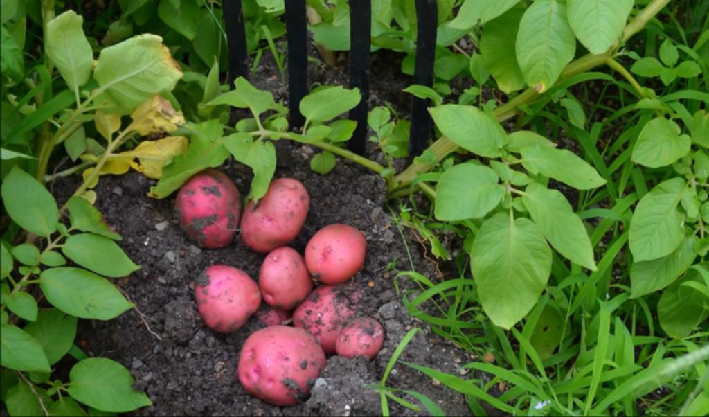 Grow Organic Potatoes