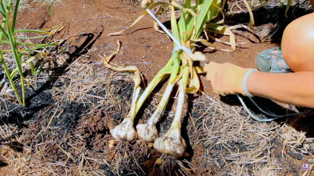 Grow Organic Garlic
