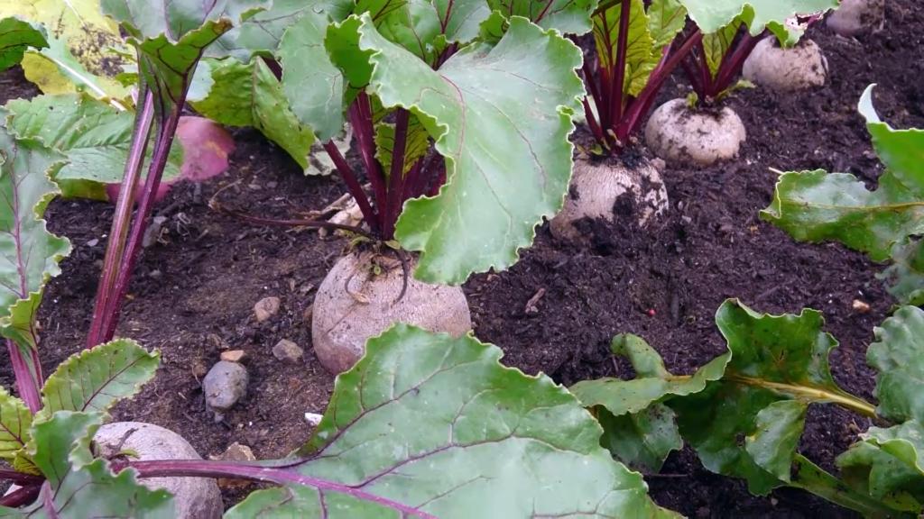 Grow Organic Beets
