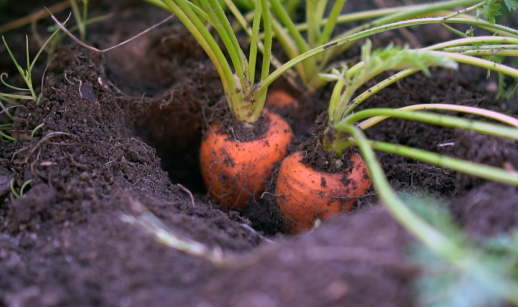 Grow Organic Carrots
