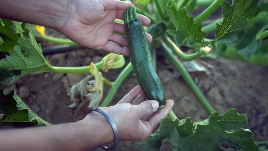 Grow Organic Summer Squash