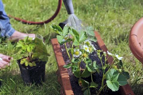 WATERING STRAWBERRIES