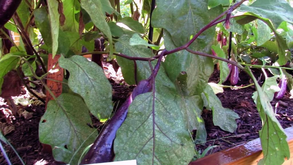 Grow Organic Eggplant