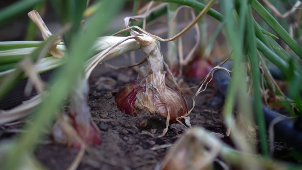 Onions planted among carrots have been observed to repel carrot flies