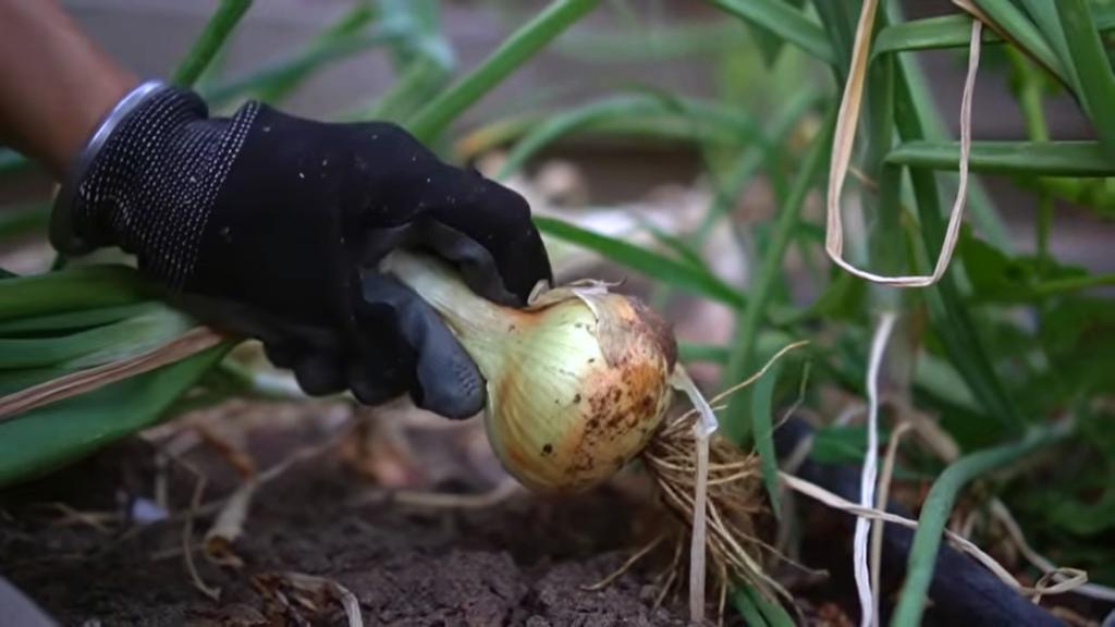 Harvesting mature onions