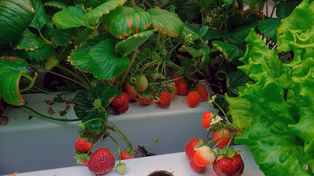 Hydroponic STRAWBERRIES at home